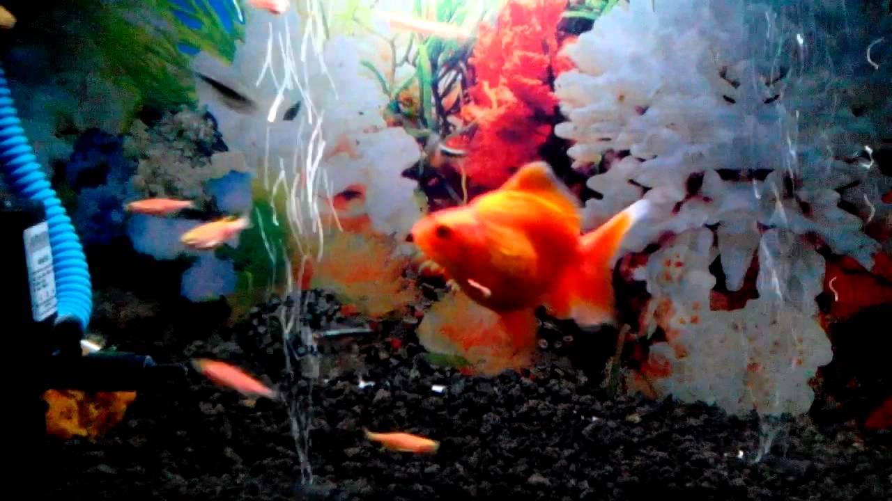 Aquarium Ikan Mas Koki