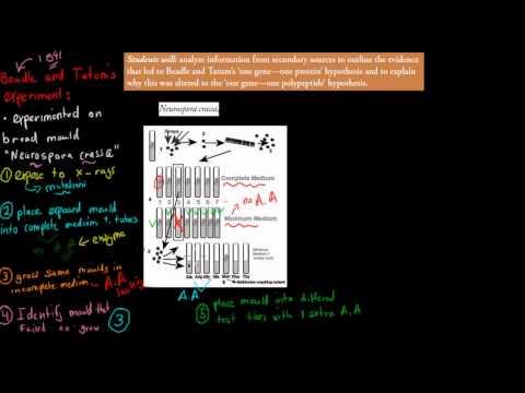 8. One gene - One polypeptide (HSC biology)