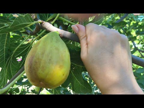 Инжир из семян. Выращивание инжира #1