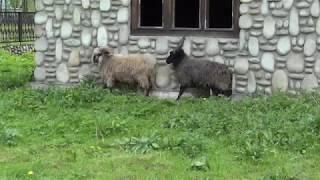 Dziwna rasa owiec