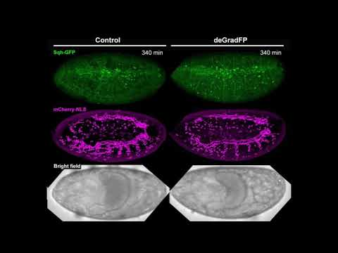 Drosophila tracheal development