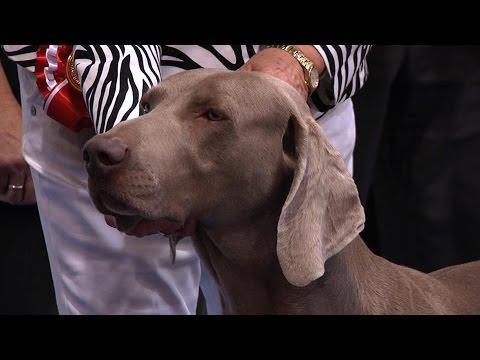 City of Birmingham Dog Show 2015 – Gundog group