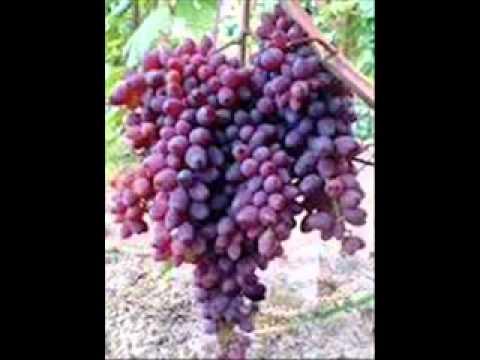 Выращиваем виноград из косточки - Виноград: выращивание и уход
