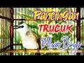 Pancingan Trucuk Macet Bunyi Agar Burung Trucukan Anda Cepat Ropel Dan Gacor Jika Mendengarnya  Mp3 - Mp4 Download