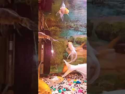Aquarium Fish | Giant Shark | Gold Fish | Community Tank | Aquarium |