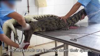 How Crocodile Killed in Vietnam for leather production