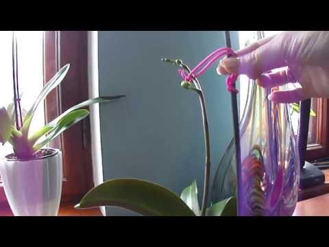 Как закрепить цветонос орхидеи и не сломать его. Мой метод.