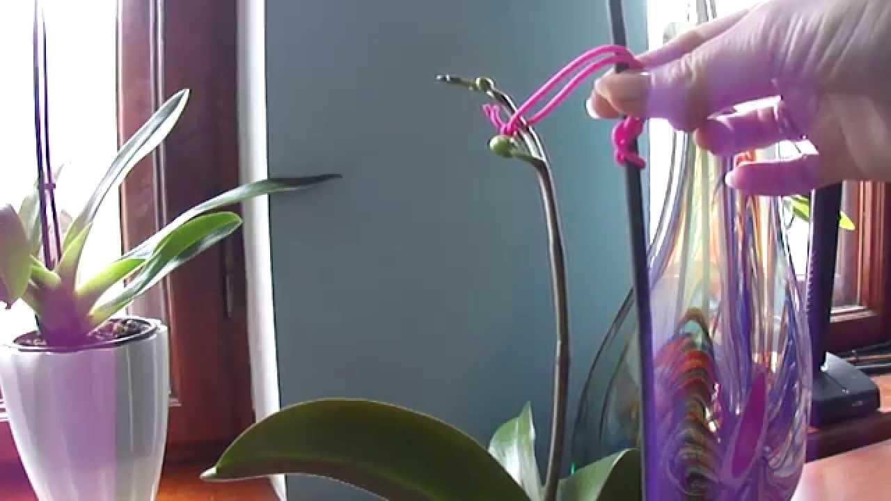 Вырастить орхидею из цветоноса