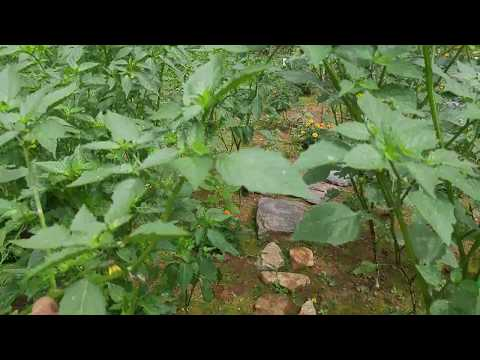 How to grow and harvest Purple and Green tomatillo
