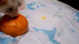 柑橘類を見ると襲いかかるフェレットのツレ。 グレープフルーツ編はコチ...