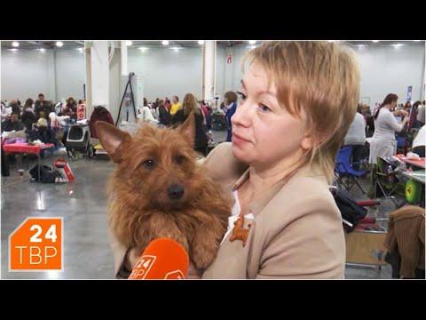 Австралийский терьер – собака для тех, кто молод душой | Элита | ТВР24 | Сергиев Посад