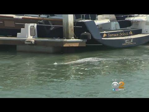 Wayward Gray Whale Spotted Off Long Beach Coast