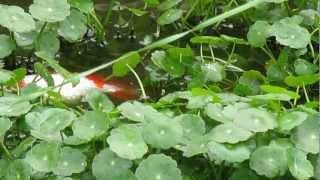 朝から、池の金魚達が、あまりにも騒がしいので、デッキから見てみると...