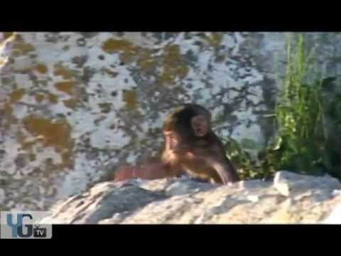 YGTV - Gibraltar Attractions - Apes Den