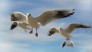 Ring-billed gull | Seagulls | Gulls | Seabirds | Flyingbirds | Species | Feeding | Rajkot