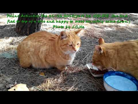 Feline Activities Feb. 21~22,2018 (part 26: GOLDIE ,the 2nd, Fled To Top Of Tree)