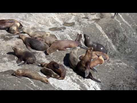 Sea lions and elephant seals off the coast of Argentina and Chela