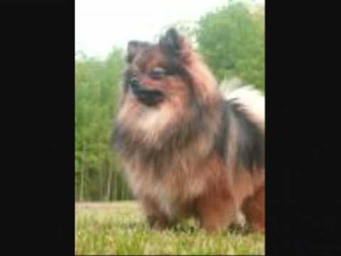 movie.wmv-puppys-for-sale-pomeraine/lhaso-apso-/german-shepherds/la-pom