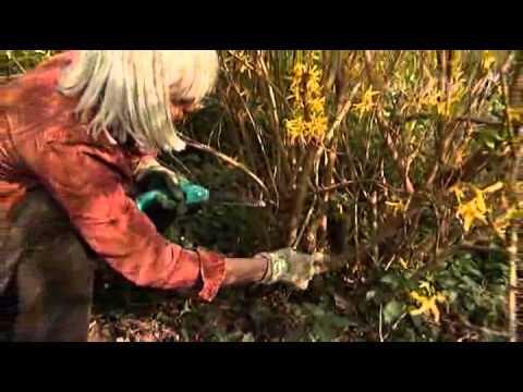 Forsythia snoeien - Groei & Bloei