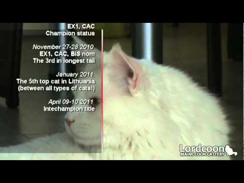 Rare white maine coon cat and kittens