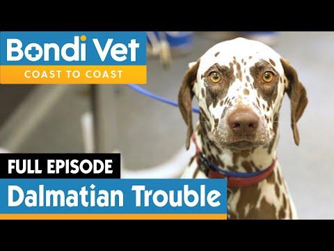 🐶 Dalmatian Dog Rushed To Emergency | FULL EPISODE | Bondi Vet