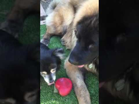 10 pound dog steals toy from 100 pound Leonberger dog