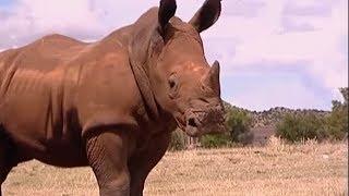 Raging Rhino Charge | Vet Safari | BBC Earth