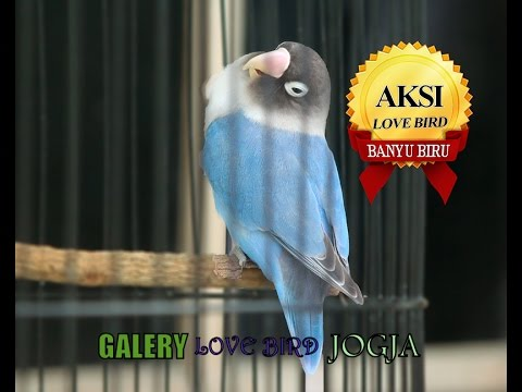 SUARA BURUNG : Love Bird Banyu Biru ( Hen - Hen BF ) Leher Nyaris Putus