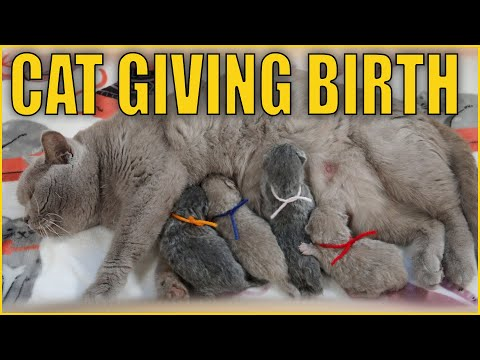Lilac British Shorthair Cat Giving Birth to DOUBLE MATCHING SETS! HOW PURRFECT!!!