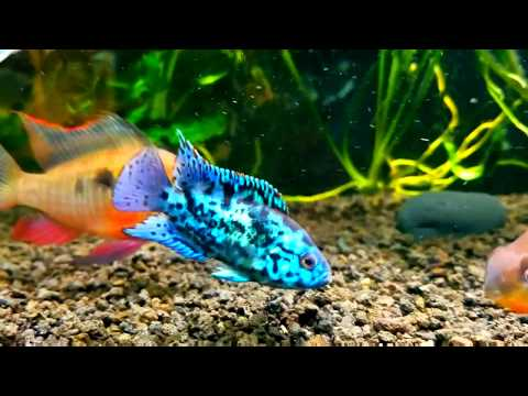 Electric Blue Jack Dempsey In Community Tank