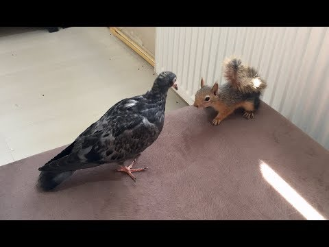 Yavru Sincap ile Yavru Güvercinin güldüren kapışması