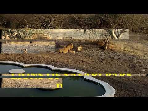 Lions of ambardi safari park,dhari,amreli