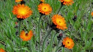[A] 👽 Hieracium aurantiacum / 紅輪蒲公英(コウリンタンポポ)/ fox and cubs / orange hawkweed