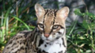 OCELOT Species Spotlight - Big Cat TV