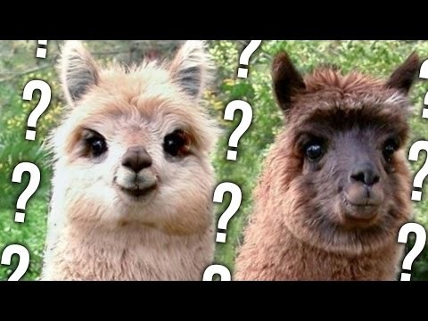 LLAMA OR DUCK? -- Greatest iOS Games Of All Time.