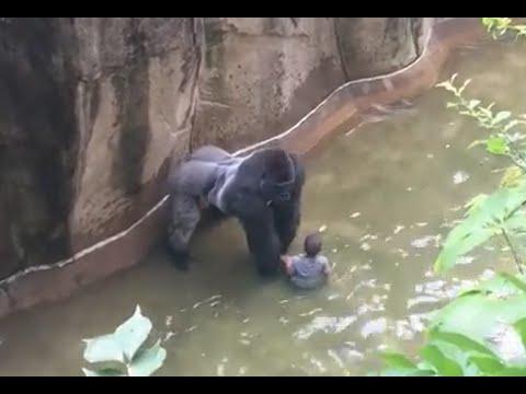 Cincinnati zoo kills gorilla to save boy who fell into enclosure FULL 42 mins