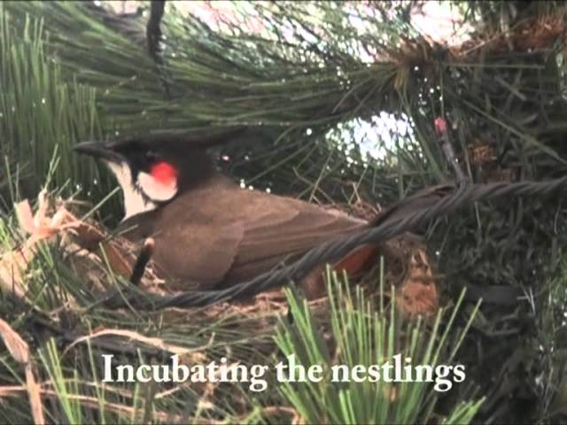 Red Whiskered Bulbul On A Xmas Tree - A Short Film Travel Video