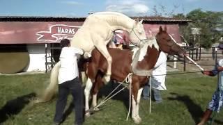 Equine спермы коллекция Haras Чероки