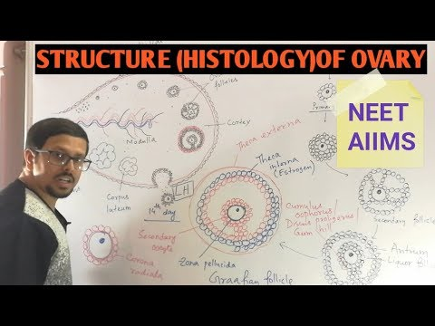 Structure Or Histology Of Ovary (Female Reproductive System / Human Reproduction)
