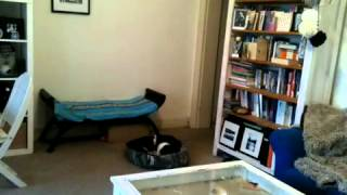 Time Lapse Of Ninja: A Cavalier King Charles