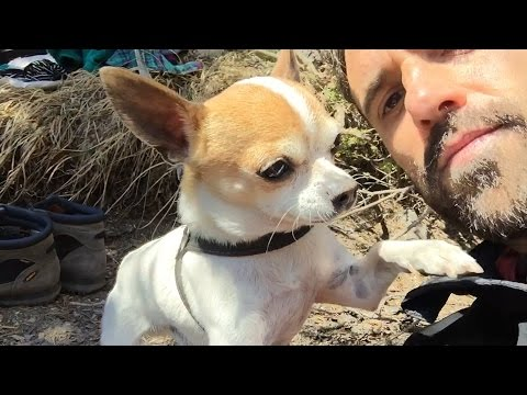 Chihuahua scared of water