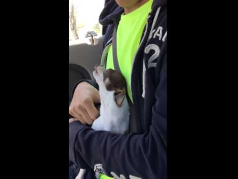 Alice the Chihuahua sees her boy after school