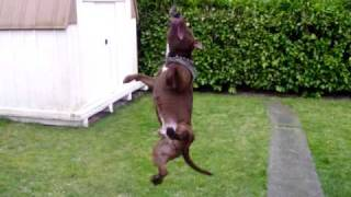 Pitbull jumping to hang on rope from tree!!!!!!
