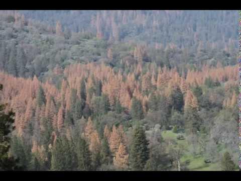 Pinehurst TREE DIE-OFF Meeting, part 1