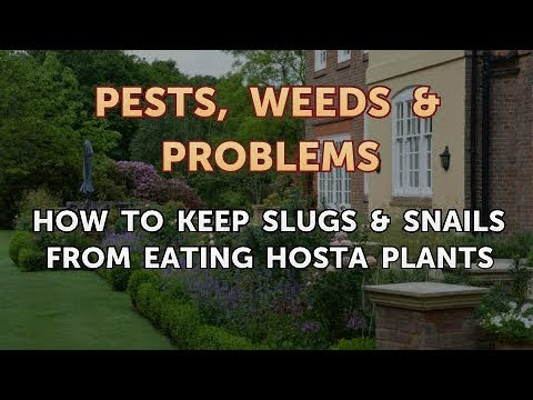 How To Keep Slugs Snails From Eating Hosta Plants Youtube