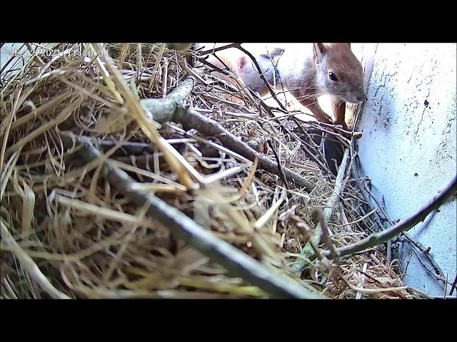 25.02.21 - 11: 20 Uhr - Eichhörnchen kommt vom Frühstück zurück!!!