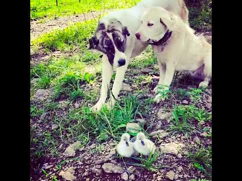 TGL Farms Livestock Guardian Dogs