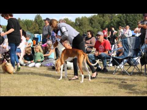 Dog Show 2015 Podenco Ibicenco IBIZAN HOUND