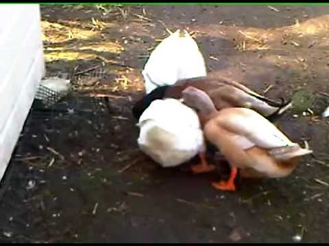 Female Agonistic and Mating Behaviour in Domestic Ducks