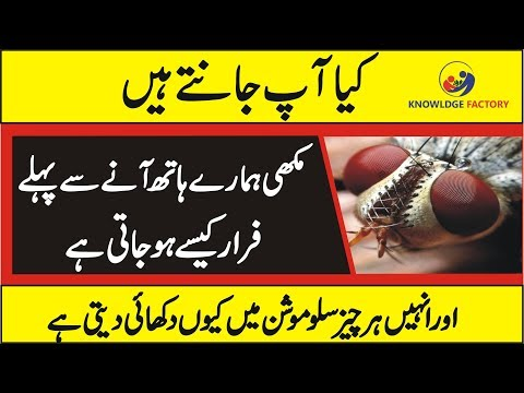 Unknown Facts Of Fly Bee In Urdu/Hindi